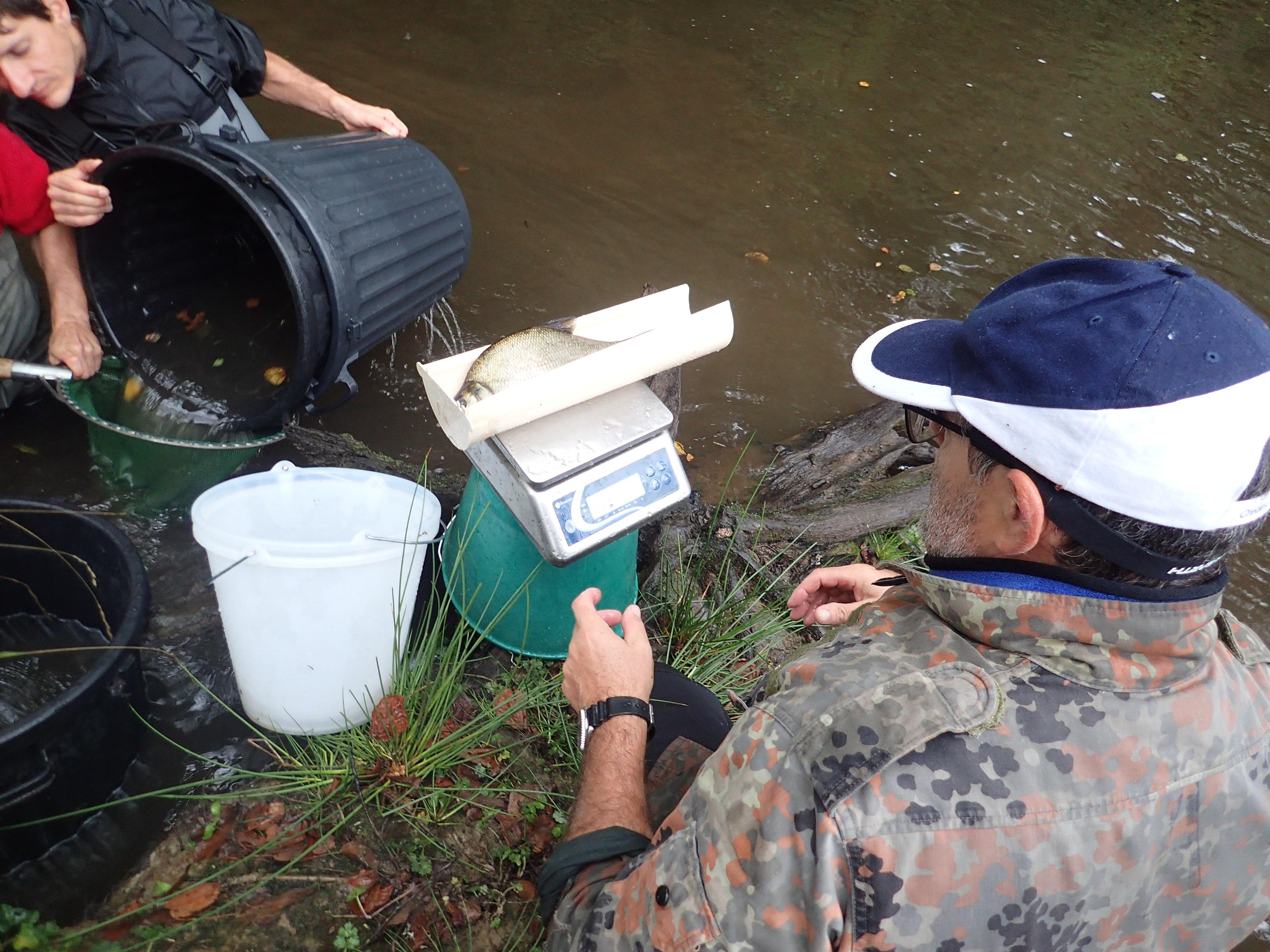 opération d'identification, mesure et pesage des poissons