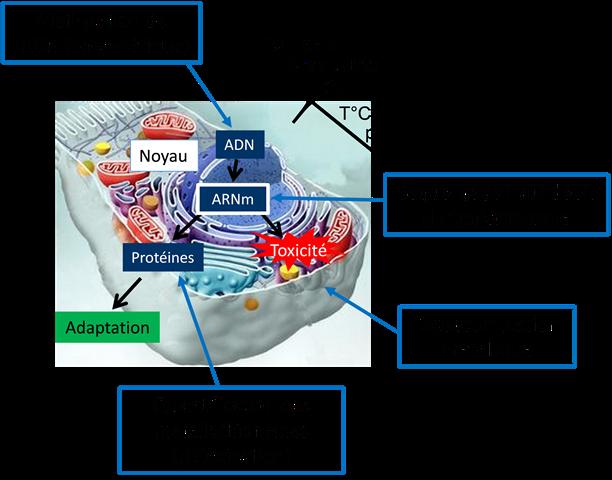Schéma de la réponse cellulaire