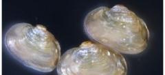 Jeunes mulettes perlières de la ferme d'élevage de Firbeix